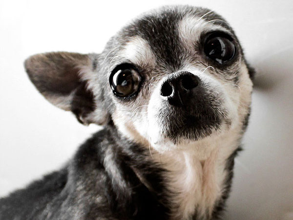 Pictures Of Chihuahuas 25 Cool Collections Design Press