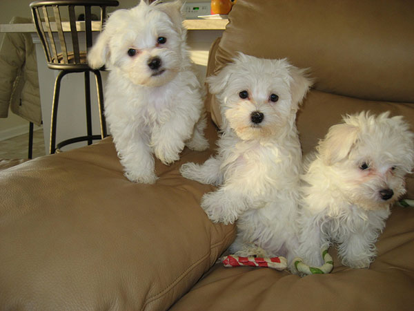 cute maltese puppies 30 Lovely Pictures of Cute Puppies