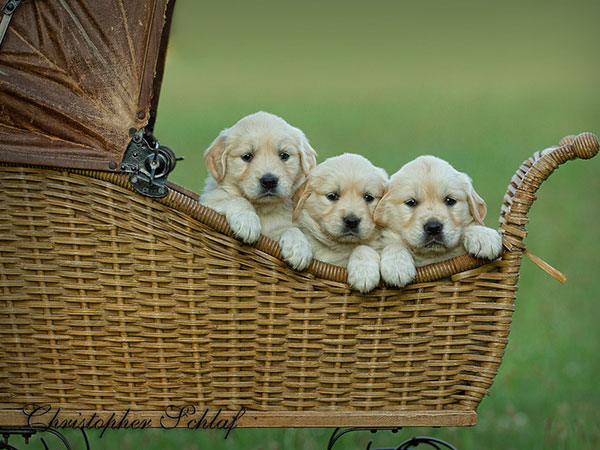 puppies carriage 30 Lovely Pictures of Cute Puppies