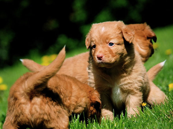 toller puppies 30 Lovely Pictures of Cute Puppies
