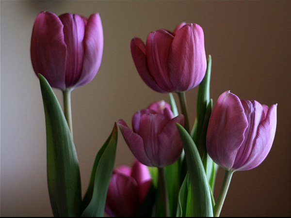 Pretty Pink Tulips Picture
