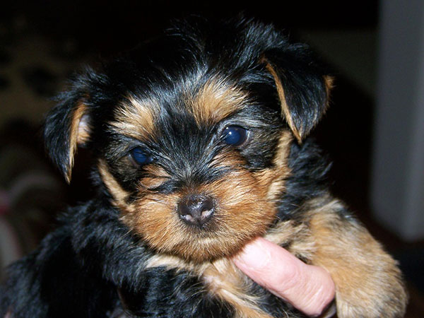 about yorkie puppy 25 Marvelous Yorkie Poo Pictures