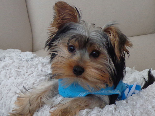 cute daisy 25 Marvelous Yorkie Poo Pictures