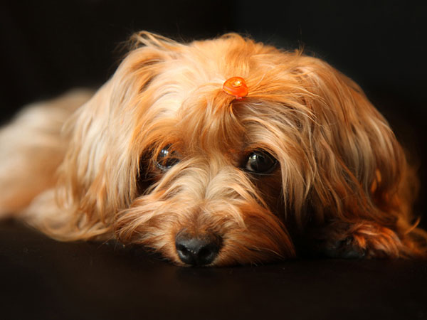 little lady 25 Marvelous Yorkie Poo Pictures