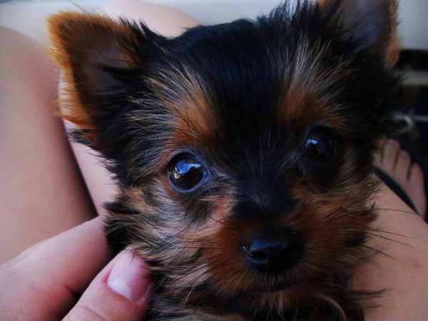 lovely timmy 25 Marvelous Yorkie Poo Pictures