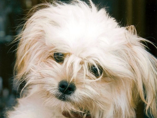 lovely yorkie poo 25 Marvelous Yorkie Poo Pictures