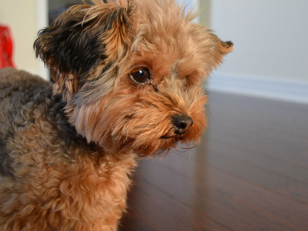 play with me 25 Marvelous Yorkie Poo Pictures