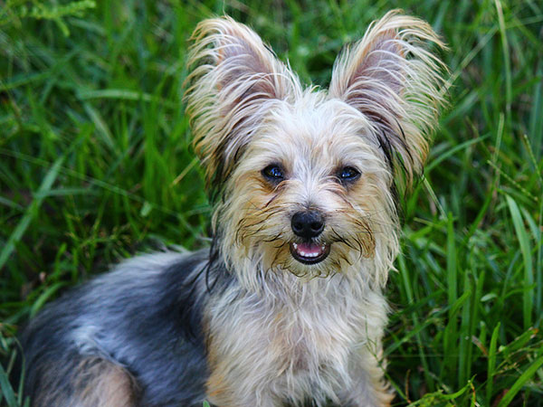 pretty boomer 25 Marvelous Yorkie Poo Pictures