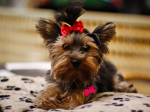 yorkshire terrier 25 Marvelous Yorkie Poo Pictures