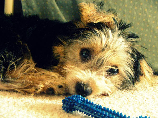 zimmers picture 25 Marvelous Yorkie Poo Pictures
