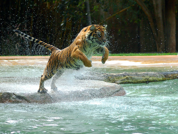 jumping tiger 30 Striking Cute Pictures of Animals