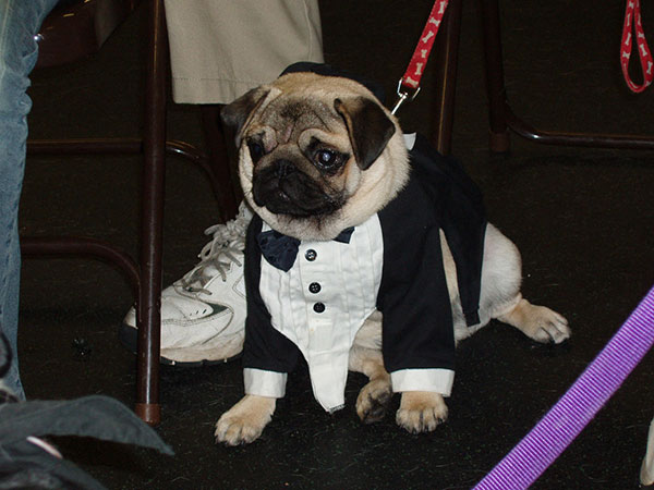 Formally Funny Pug