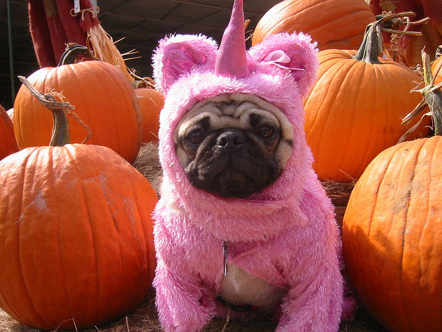 pink dressup 25 Funny Pug Pictures To Lighten Your Mood