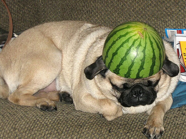 pug warrior 25 Funny Pug Pictures To Lighten Your Mood