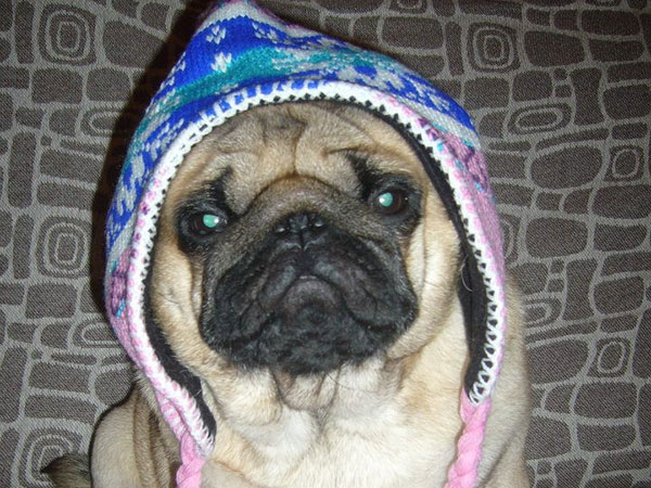 pugcap 25 Funny Pug Pictures To Lighten Your Mood