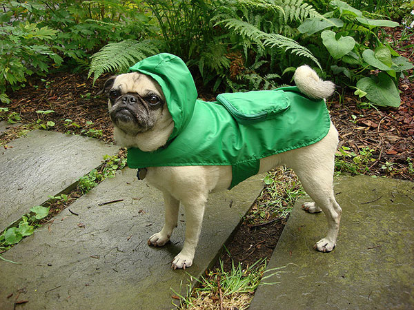 Waterproof Pug Picture