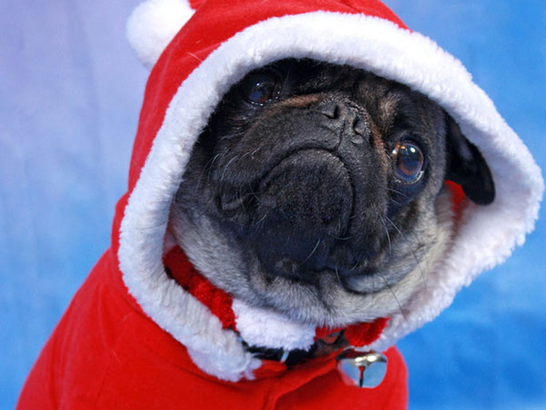 the santapug 25 Funny Pug Pictures To Lighten Your Mood