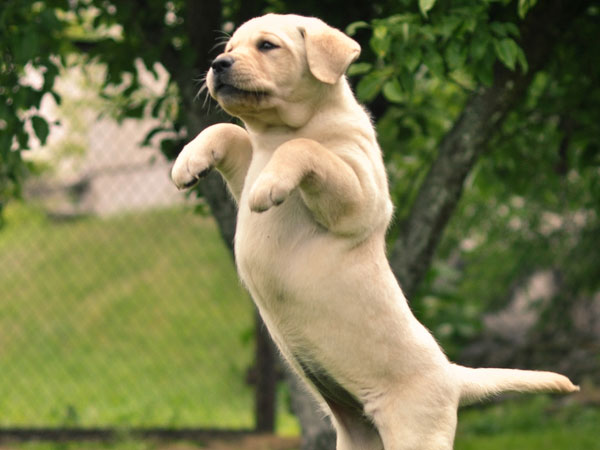 labrador 25 Funny Puppy Pictures You Will Definitely Love