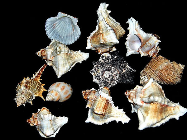 como caracola 26 Memorable Seashell Pictures