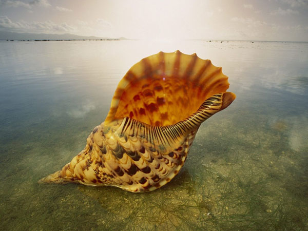 large seashell 26 Memorable Seashell Pictures