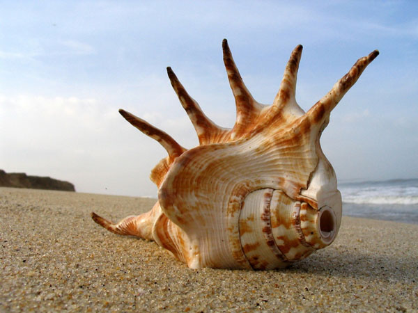 scalloped 26 Memorable Seashell Pictures