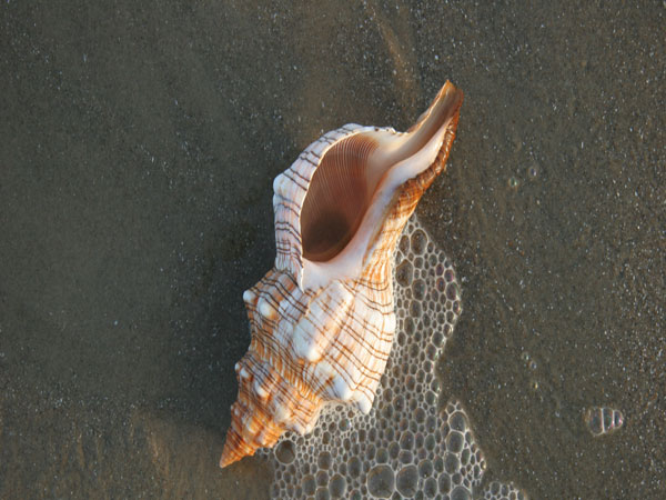 texas seashell 26 Memorable Seashell Pictures