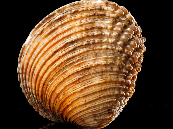 venus verrucosa 26 Memorable Seashell Pictures